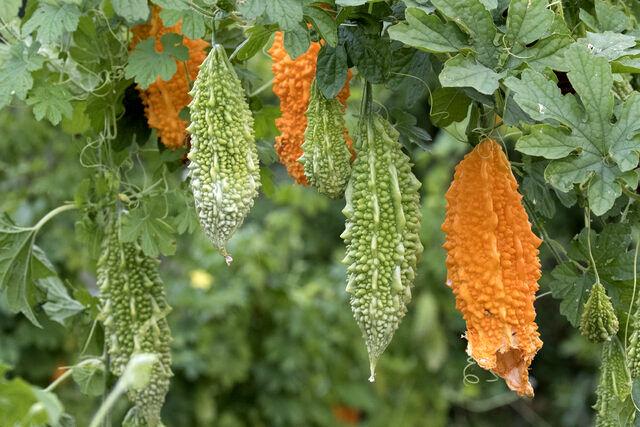 با این گیاه ضد دیابت آشنا شوید