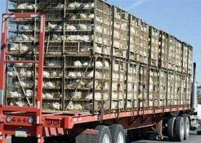 کشف میلیاردی مرغ فاقد مجوز در مهریز