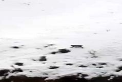 مشاهده یک قلاده سیاهگوش در زیستگاههای شهرستان آوج