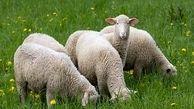 آغاز فاز دوم تولید ترکیب ژنتیکی گوسفند