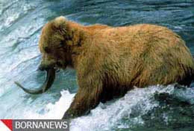 خرس گریزلی به تولههایش ماهیگیری یاد میدهد + فیلم