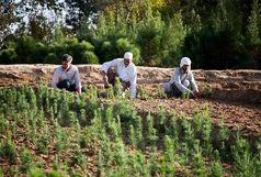 نهالستان «کوشکن»، ظرفیتی قابل توجه در زنجان