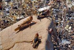 آمادگی کامل استان برای مقابله با ملخ صحرایی