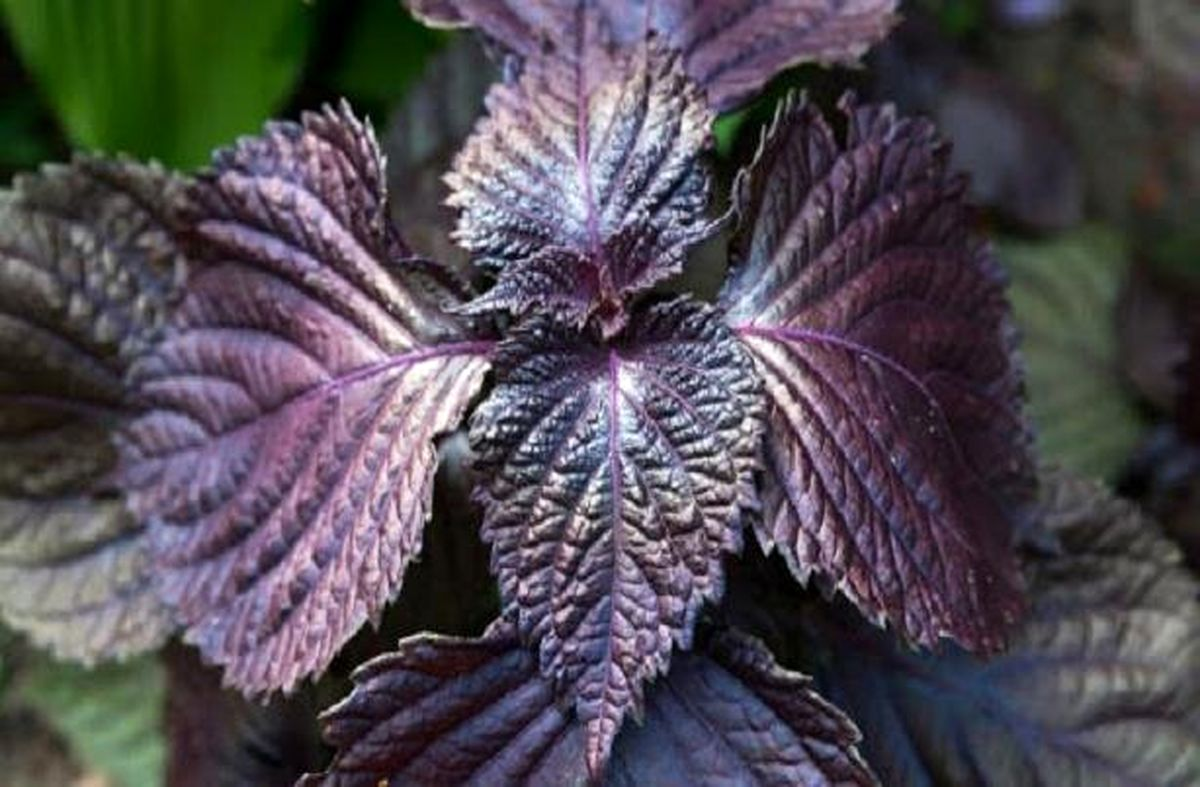 ترکیب این گیاهان با لبنیات، بیماری های عفونی را درمان می کند