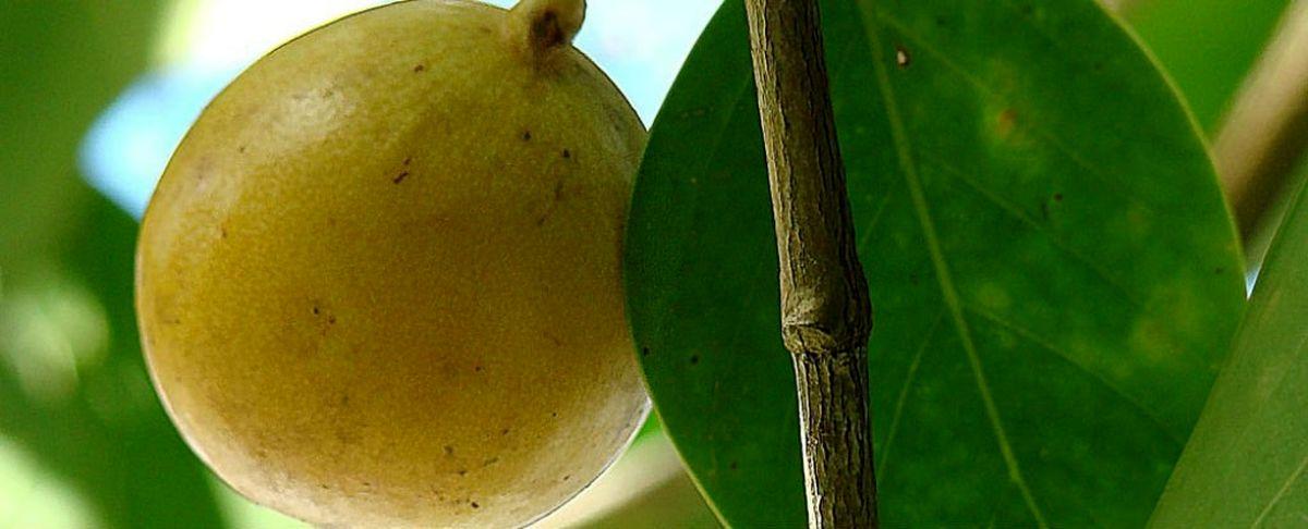 خطرناکترین درخت جهان با مرگبارترین میوه+ عکس