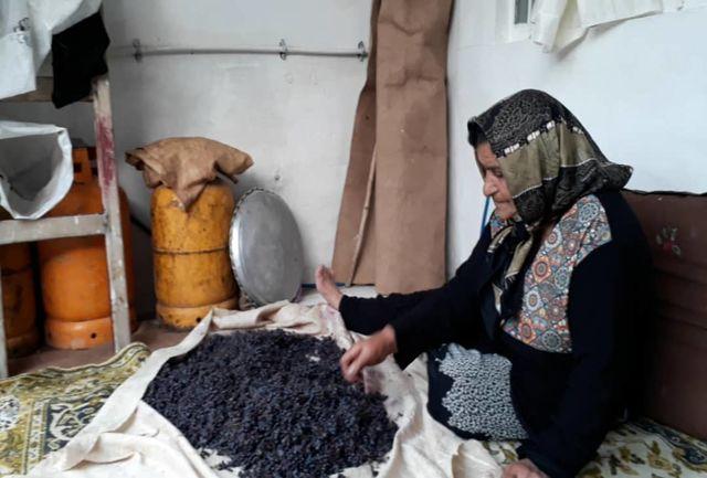 رونق اقتصاد روستاها در دستان زنان روستایی/فصل زرشکی روستای شوراب