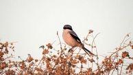 شناسایی و ثبت یک گونه جدید از پرندگان در خراسان رضوی