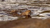 یوزپلنگهای شناگر در رود خروشان + عکس