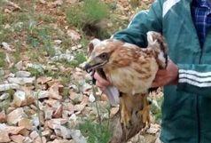 رهاسازی۶۰ بهله پرنده شکاری در طبیعت زیبای همدان