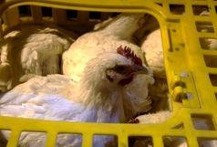 کشف هزار و 500 قطعه مرغ زنده توسط پلیس میناب