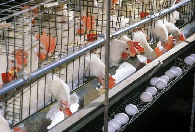 تخلف عرضه تخم مرغ در استان سمنان به ارزش ۸۰ میلیارد ریال ثبت شد