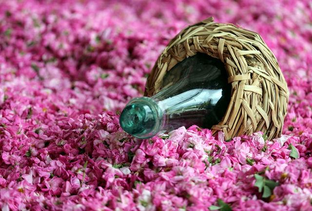  پیش بینی تولید ۱۶۴ تن گل محمدی در شهرستان ارومیه